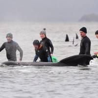 Casi 500 ballenas piloto fueron localizadas varadas en una costa de Australia