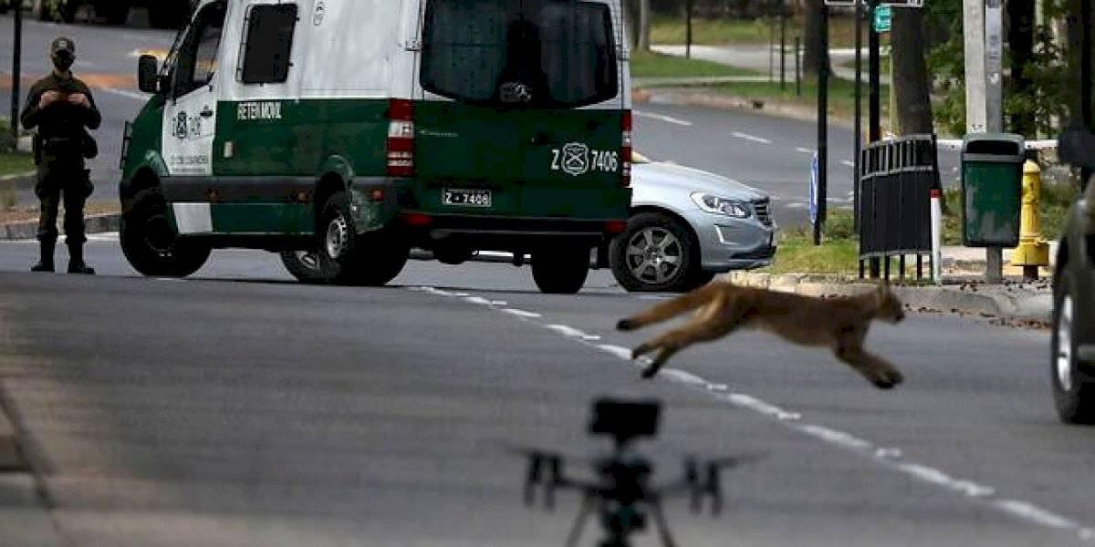 Capturan a uno de los cachorros de puma en Las Condes