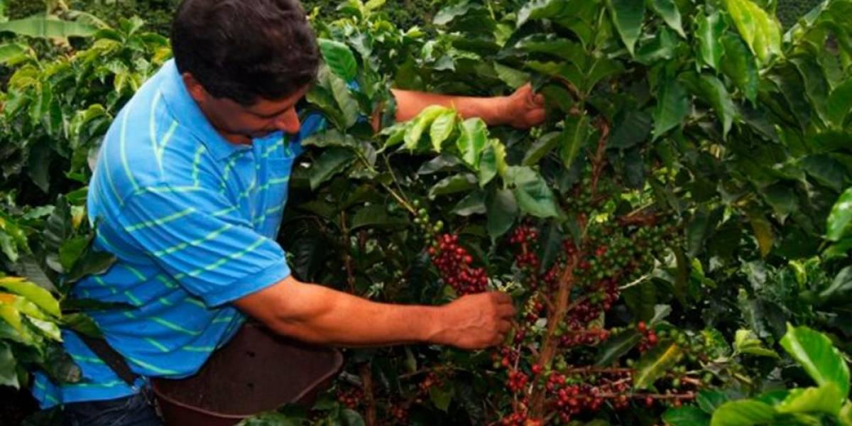 Hay 43.000 vacantes para recolectores de café en Antioquia