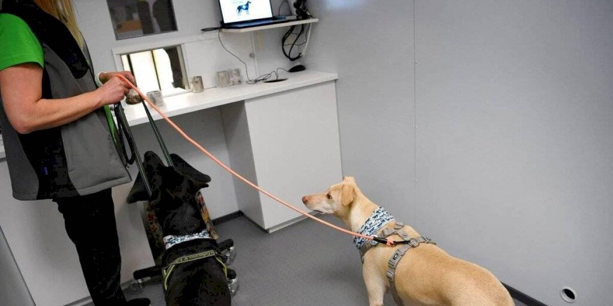 Finlandia utiliza perros para detectar coronavirus en el aeropuerto