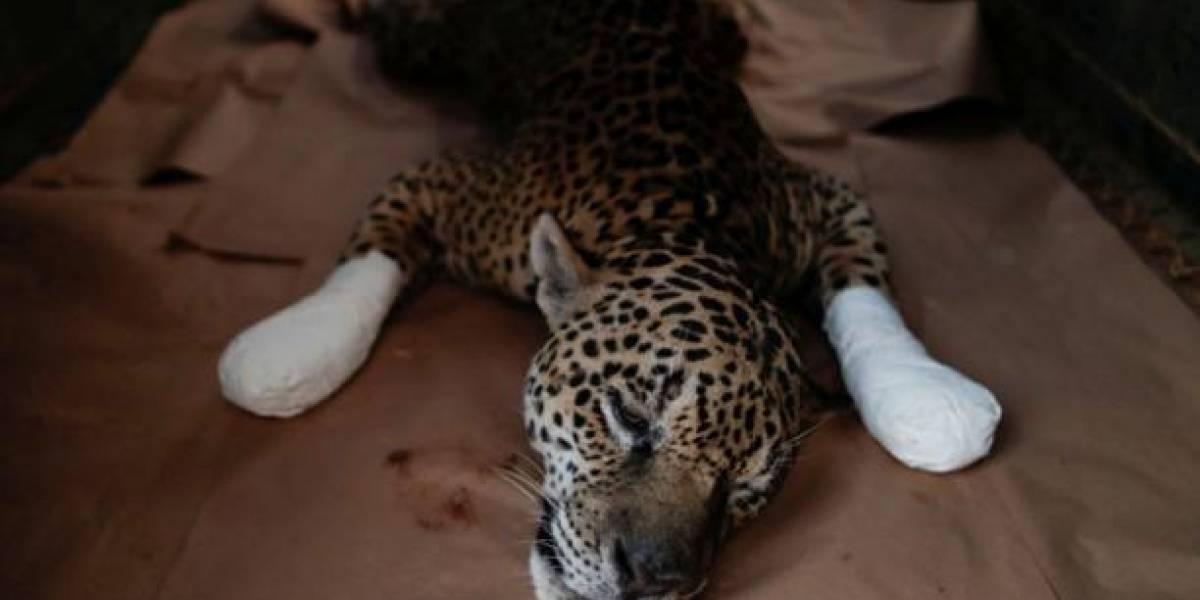Las impactantes imágenes de un jaguar con quemaduras, víctima de los incendios en Brasil