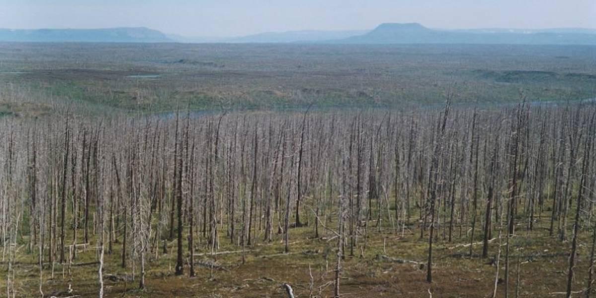 Anillos de árboles alertan de una polución agravada del Ártico ruso
