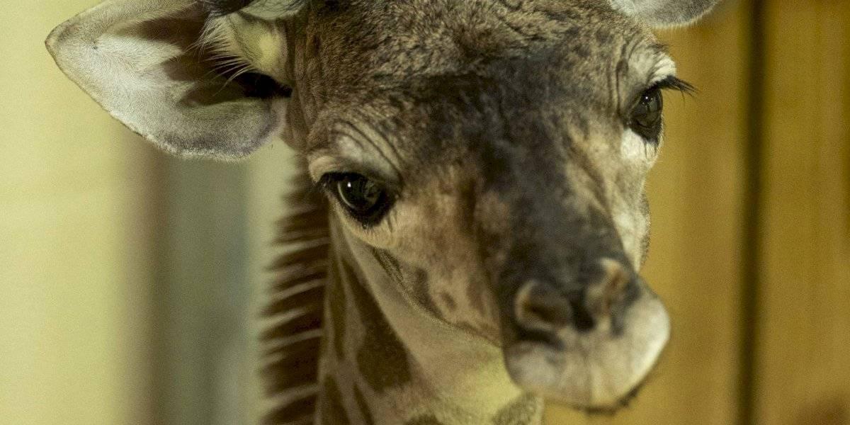 Disney anuncia el nacimiento de una bebé jirafa en Animal Kingdom