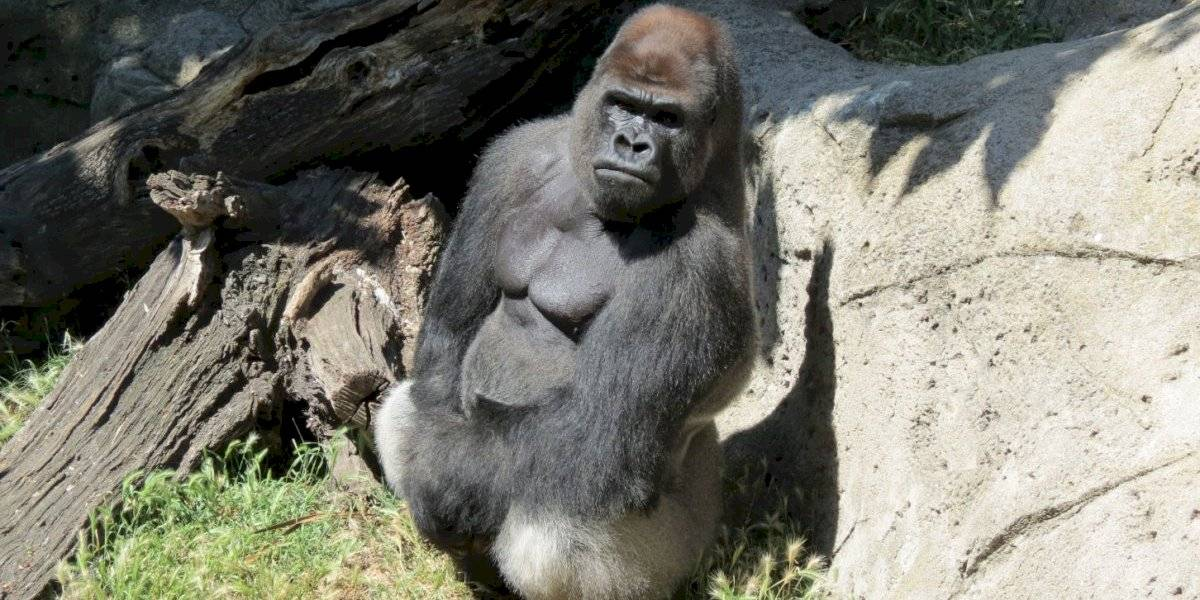 Gorila ataca a cuidadora de zoológico de Madrid