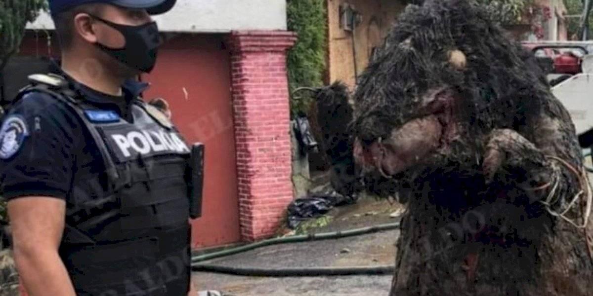 """La asquerosa historia de la """"rata gigante"""" que sacaron de una alcantarilla en México"""