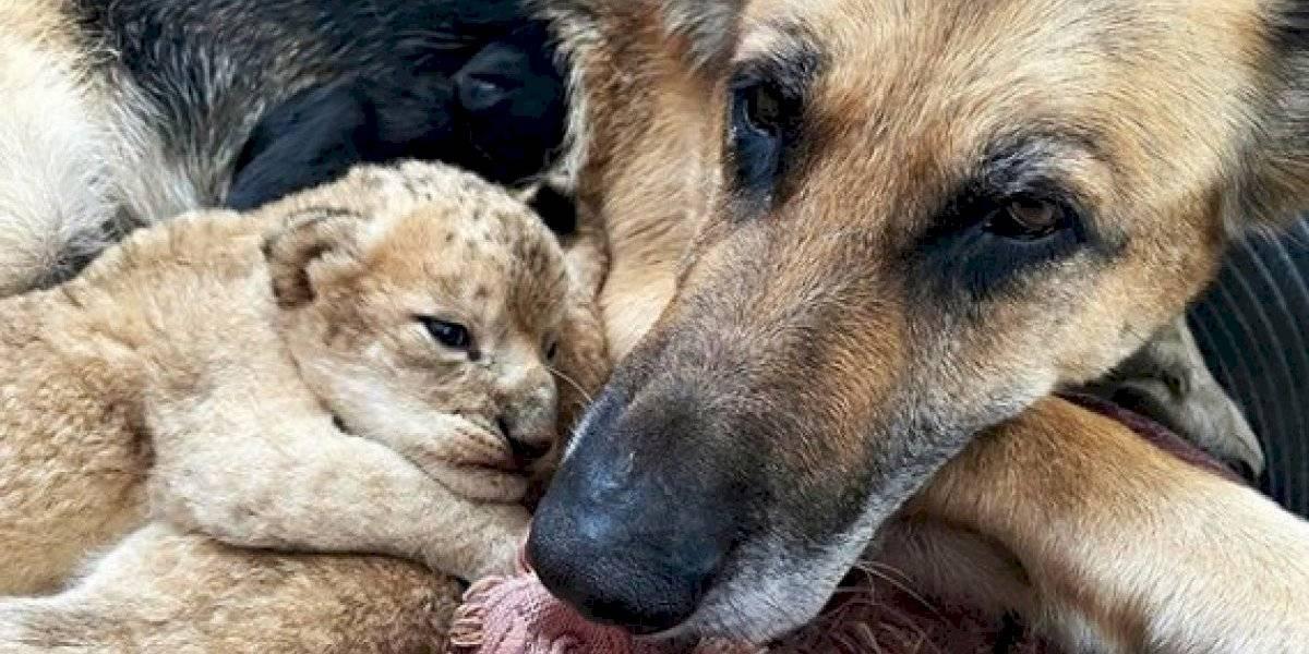Perrita adoptó a cachorros de leones abandonados por su madre