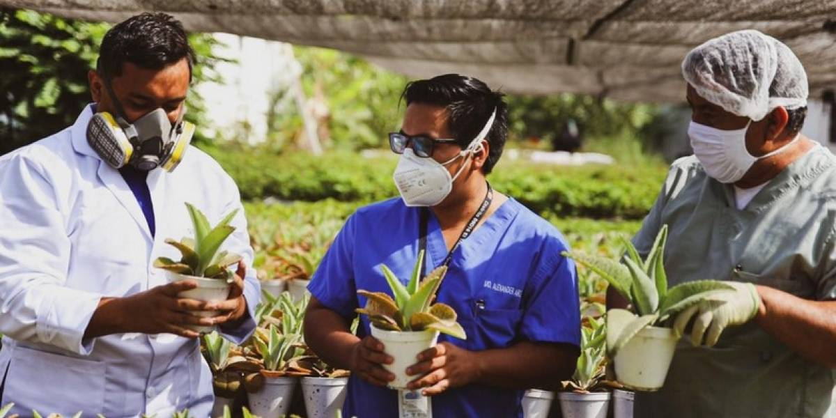 Una planta que alivia y mejora la vida de las personas crece en Ecuador