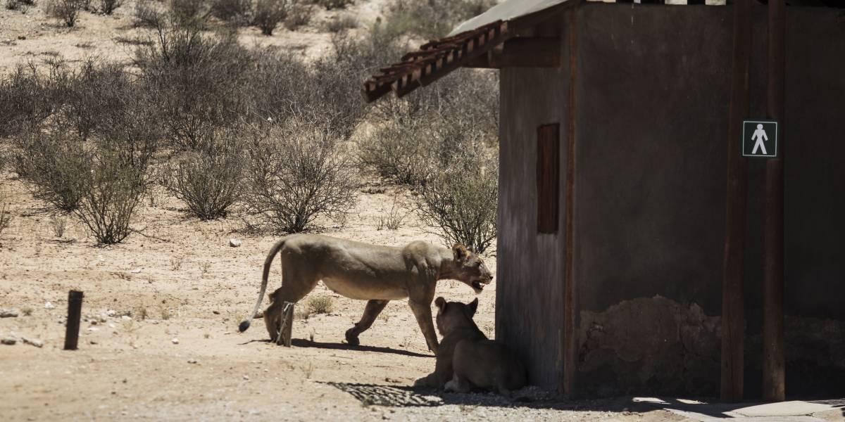 Sudáfrica.- Sudáfrica mata a tiros a siete leones que escaparon de un parque nacional en el sur del país