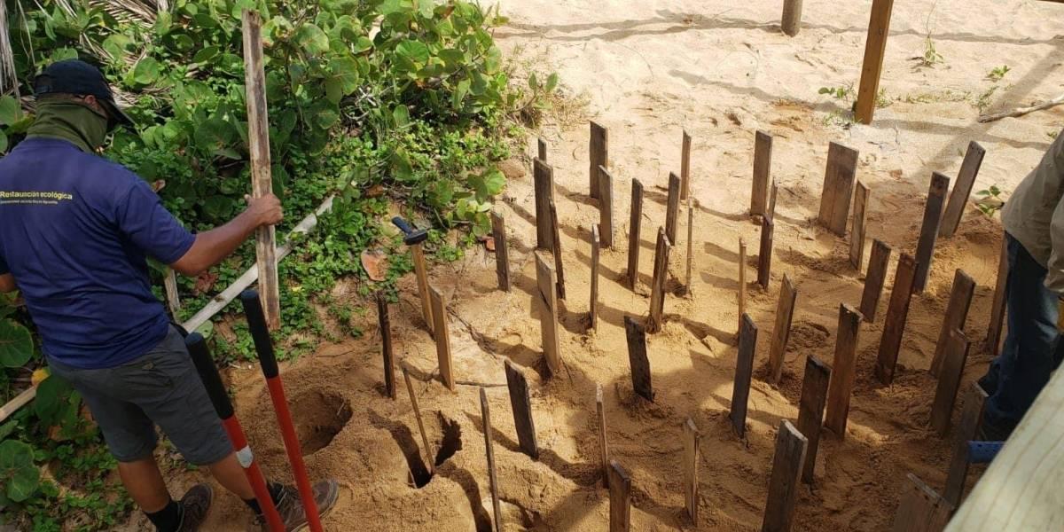 Proyecto ecológico de restauración de dunas en Loíza muestra resultados positivos