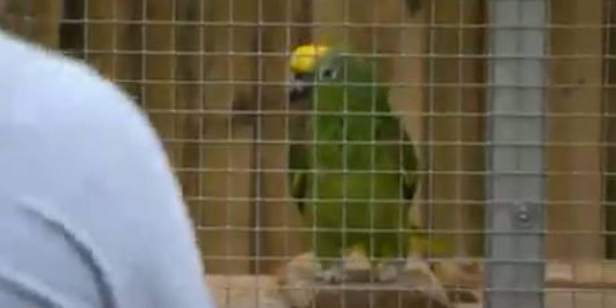 ¡De no creer! Cinco loros de un zoológico fueron aislados por insultar a los visitantes