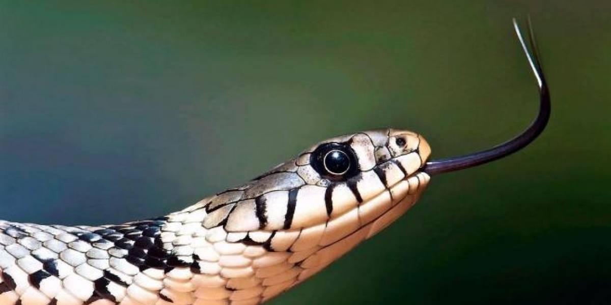 Aterrador: mujer encuentra una serpiente de dos cabezas al interior de su casa