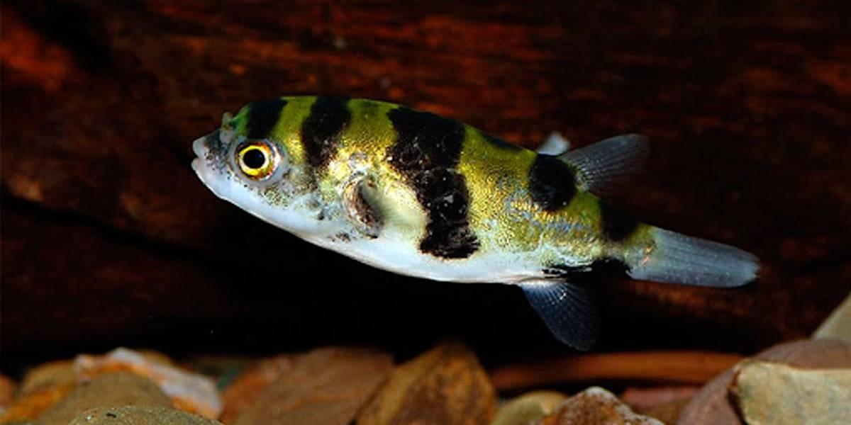 Vídeo mostra peixe que se alimenta de escorpiões e cobras