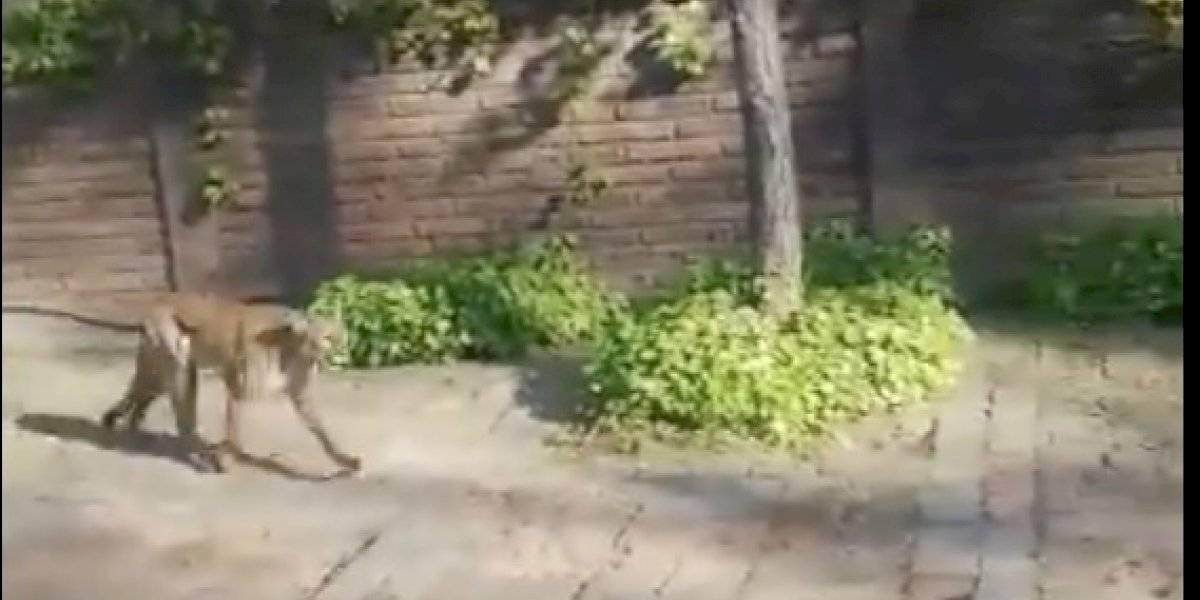Pumas encienden nuevamente alarmas en Las Condes: uno a 80 metros de casa de Piñera