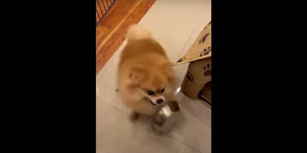 Vídeo: Cachorrinho 'surta' após ser obrigado por dona a fazer dieta