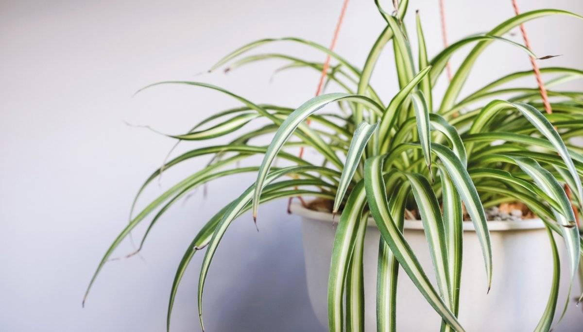 Plantas cintas