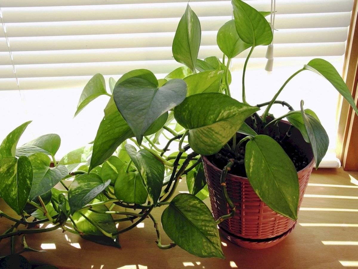 Plantas potus