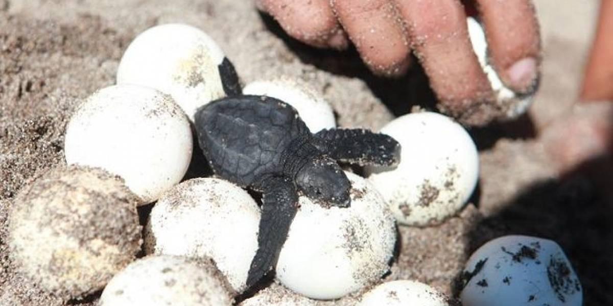 Huevos falsos con GPS exponen al comercio de tortugas marinas en Costa Rica