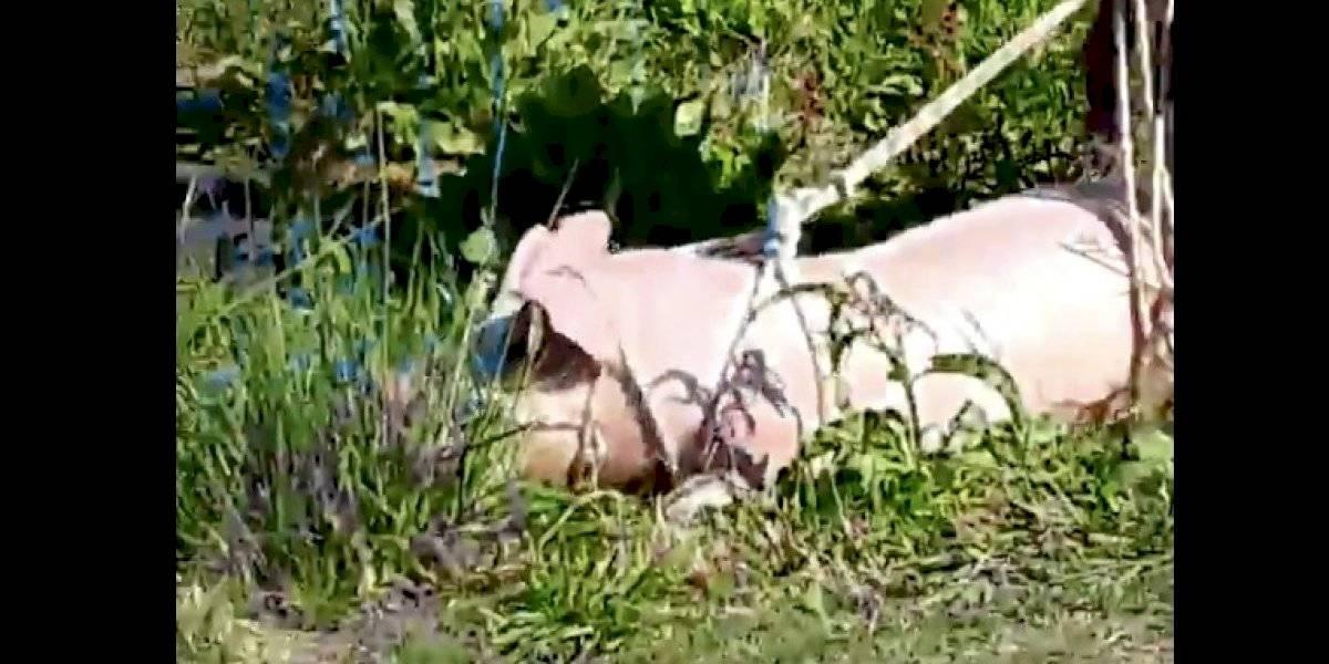 Brutalidad en Argentina: faenan a cerdos en plena calle tras volcamiento de camión