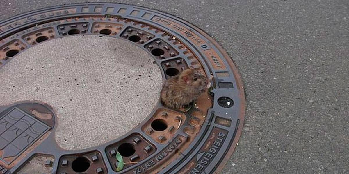 Rato gordo fica preso em tampa de bueiro e é salvo por bombeiros