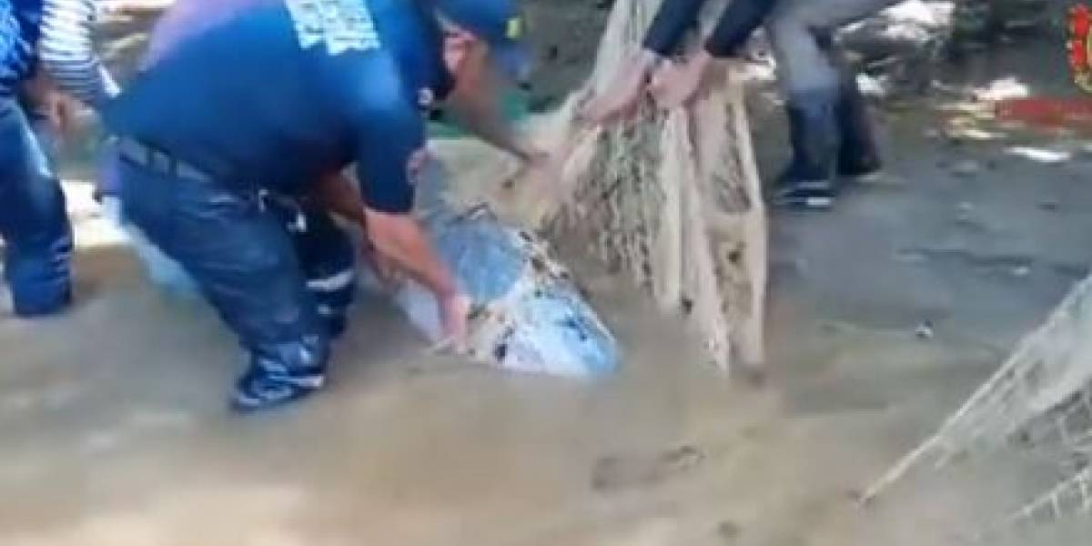 En video: Rescatan a delfín rosado que quedó atrapado en aguas poco profundas