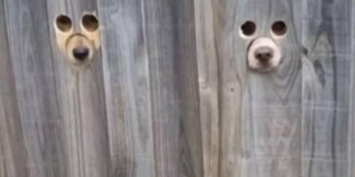 Vídeo: mulher faz buracos personalizados na cerca de casa para que seus cachorros possam vê-la chegar