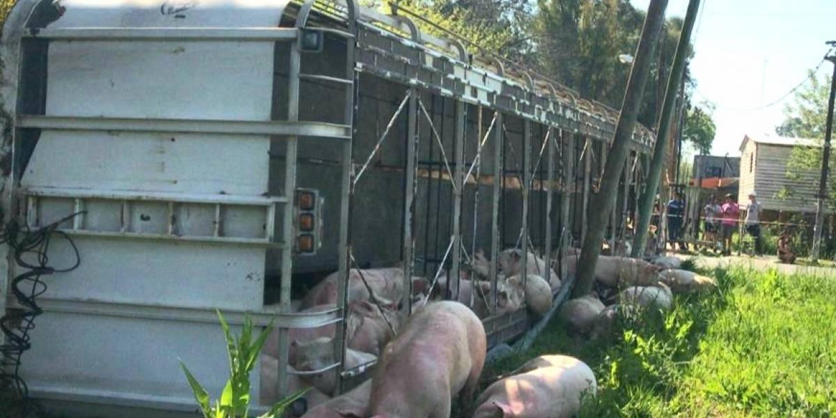 Argentina: Camión con cerdos se volcó y las personas se los llevaron, incluso los mataron en la calle