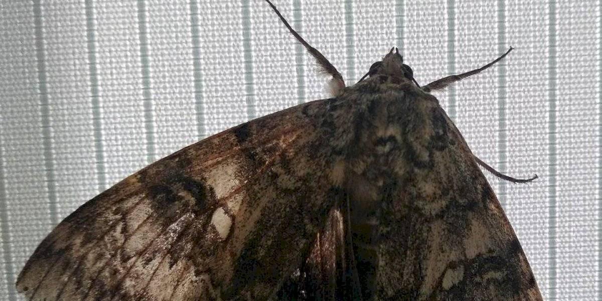 Avistan una mariposa del tamaño de un pájaro en Chernóbil