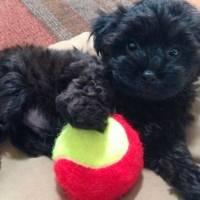 5 raças de cães misturadas com poodle
