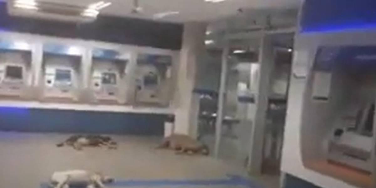 Vídeo: Cachorros invadem agência bancária para fugir do calor intenso e aproveitar ar-condicionado