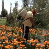 Covid-19 obliga a luchadores a cultivar y vender flores de cempasúchil para subsistir