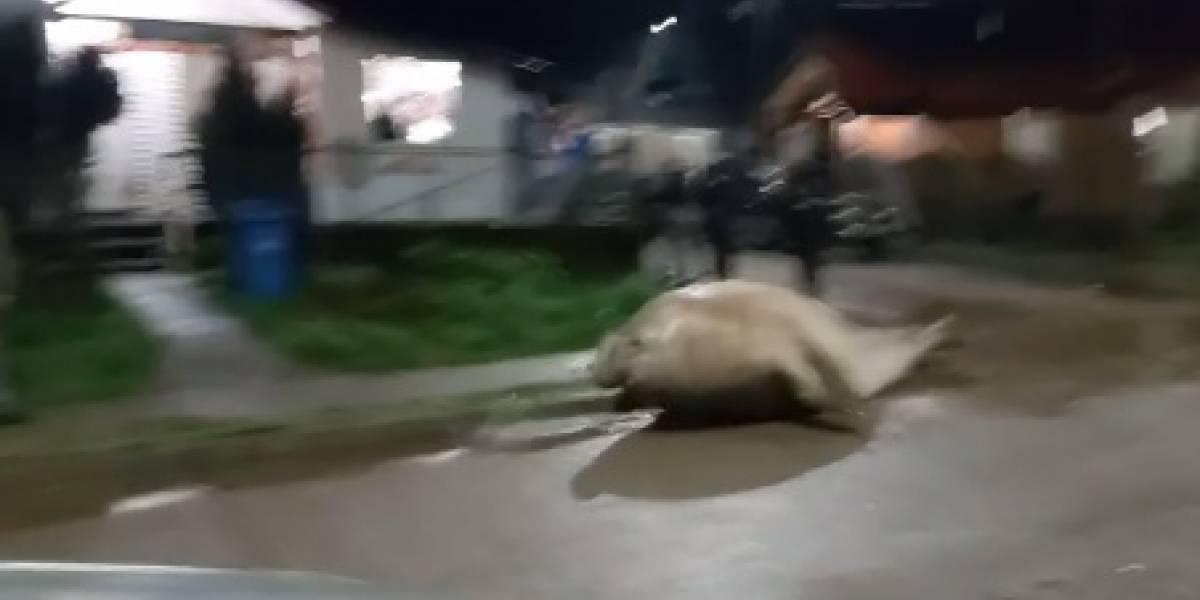 Assista: elefante-marinho sai do mar e percorre ruas em cidade chilena; situação provocou alvoroço entre os moradores
