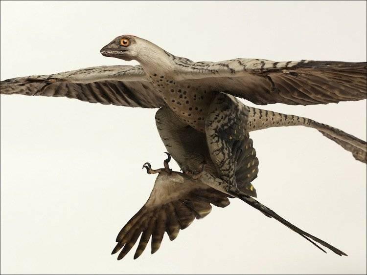 Otro de los dinosaurios extraños, el Microraptor.