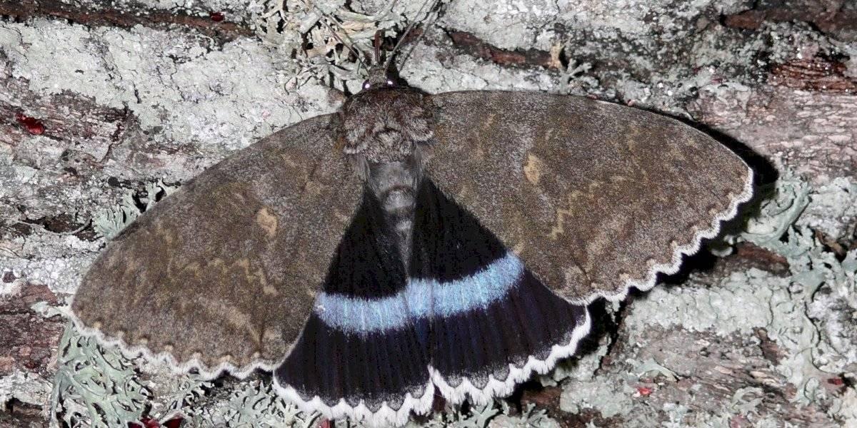 Encuentran 'extraña' mariposa en Chernóbil con el 'tamaño de un pájaro'