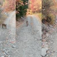 ¡Adrenalina pura! Puma persigue a senderista por más de seis minutos en Utah