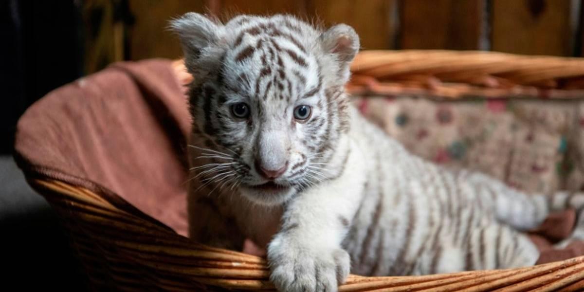 Comprou gato raro pela Internet mas recebeu filhote de tigre