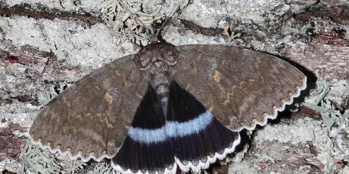 Do tamanho de uma ave: mariposa gigante é encontrada na cidade-fantasma de Chernobyl