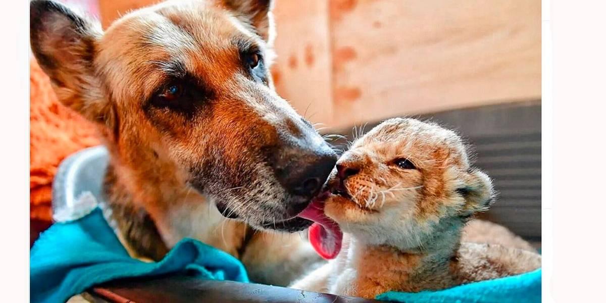 Vídeo: Cachorra pastora alemã adota filhotes de leão