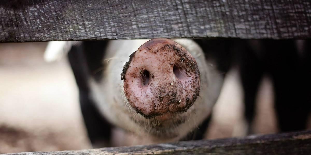 Descubren cepa de coronavirus de cerdos que podría pasar a los seres humanos