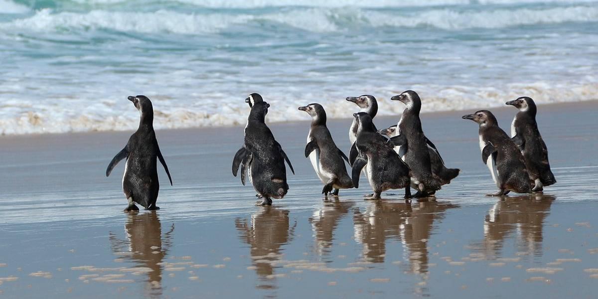 Vídeo de ONG mostra pinguins reabilitados sendo soltos na praia