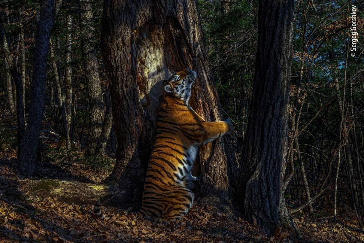 El abrazo del tigre siberiano, primer lugar en fotografía de Vida silvestre 2020.