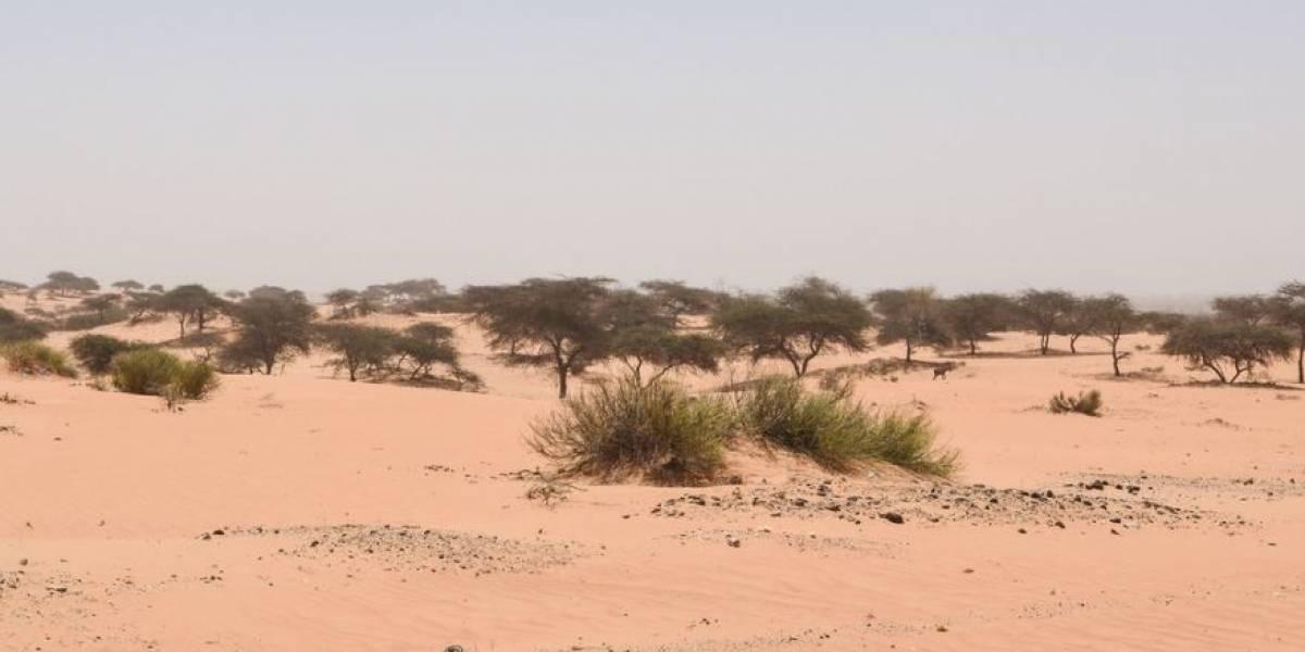 Ciencia.-Unos 1.800 millones de árboles pueblan el Sáhara Occidental y el Sahel
