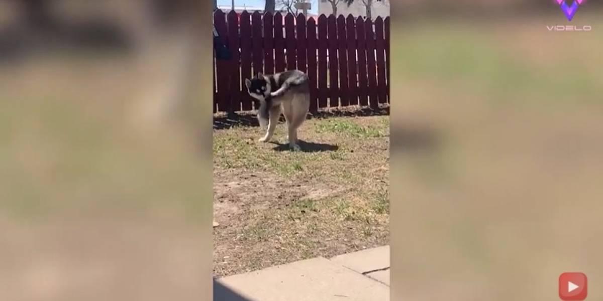 Desconecta.- Este perro juega a perseguir su propia cola y termina en el suelo