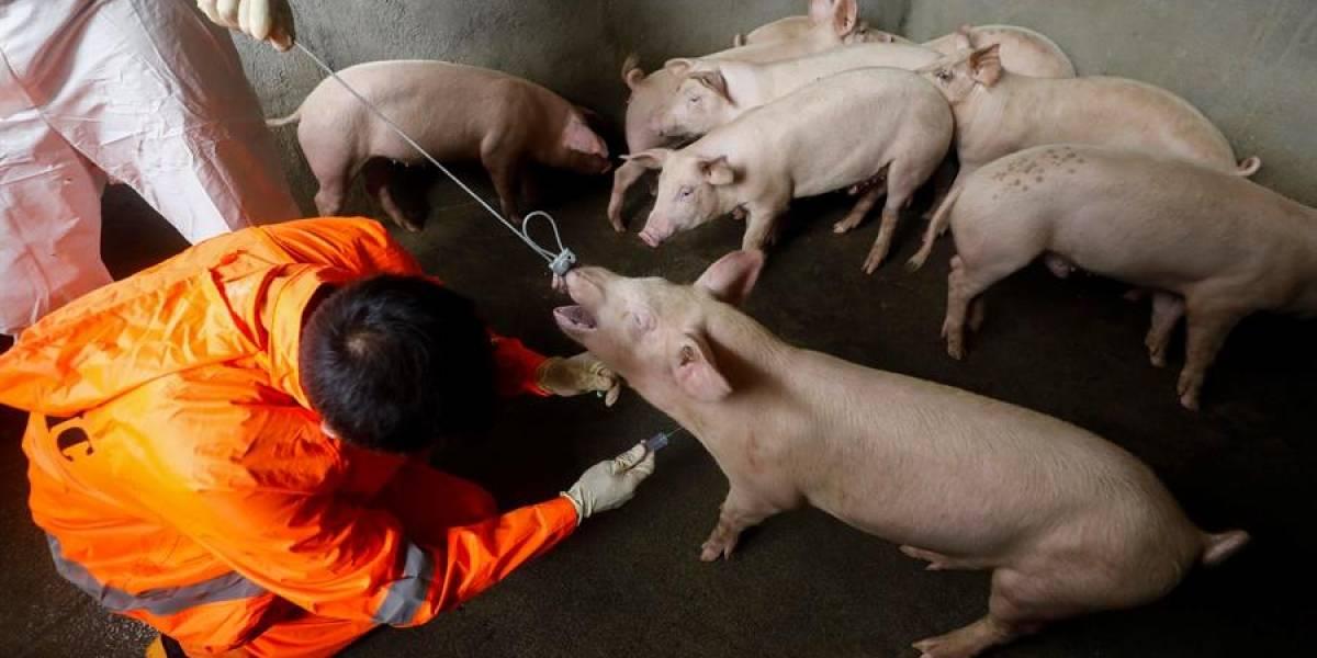 El coronavirus porcino podría transmitirse a los seres humanos: estudio
