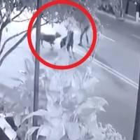 Mujer pide justicia por su perrito asesinado por un pitbull y rottweiler en la GAM