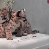 Zoológico cuida a pumas huérfanos tras incendios en California