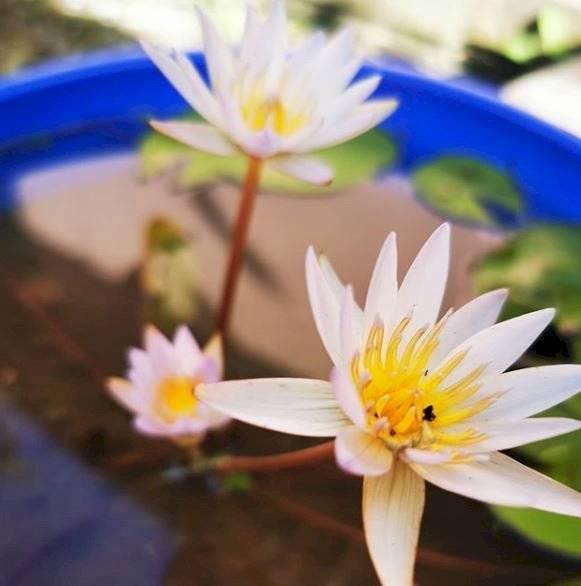 La flor de loto es una de las plantas acuáticas usadas en los hogares