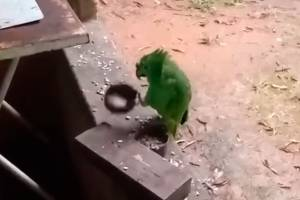 Vídeo de papagaio cantando e tocando 'Atirei o Pau no Gato' viraliza nas redes