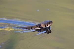 Vídeo flagra cobra tentando pescar e comer peixe em lago