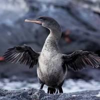 Aumenta población de pingüinos y cormoranes en Galápagos ¡Registró cifra récord!