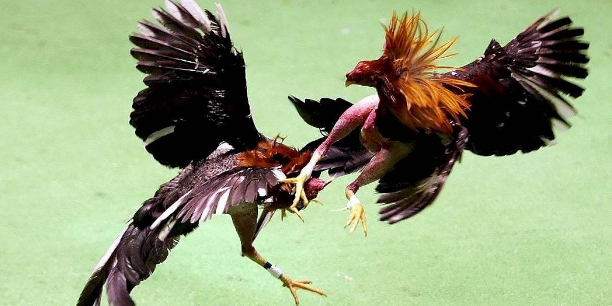 Gallo de pelea mata a policía durante una redada